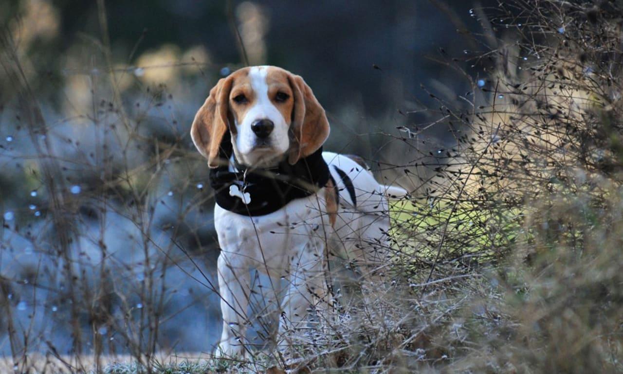 Amerikaans Engels Coonhounds
