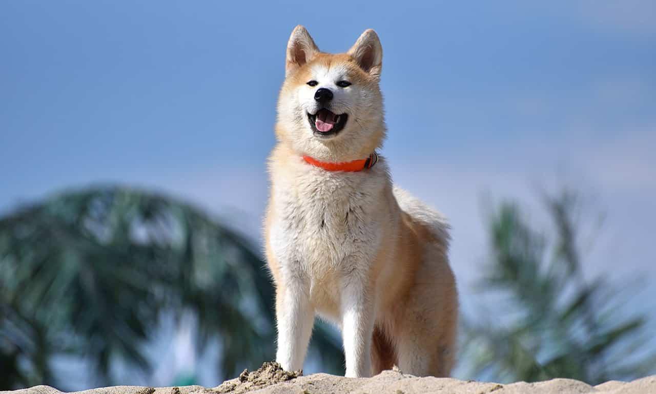 akita hond