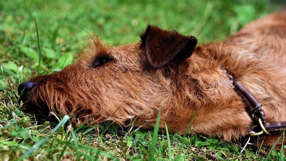 ierse terrier - alles over hondenrassen ✓