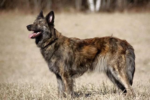 Nederlandse herder
