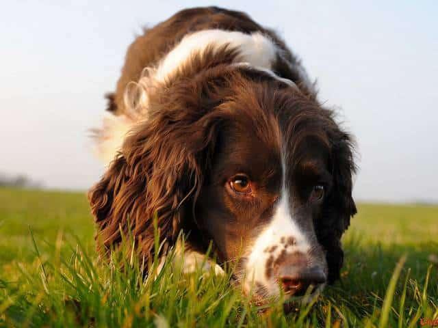 engelse springer spaniël - alles over hondenrassen ✓