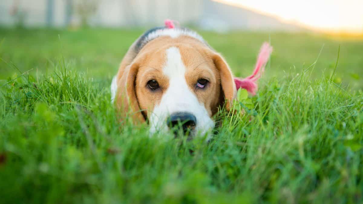 Hoe stop ik mijn hond tegen blaffen?