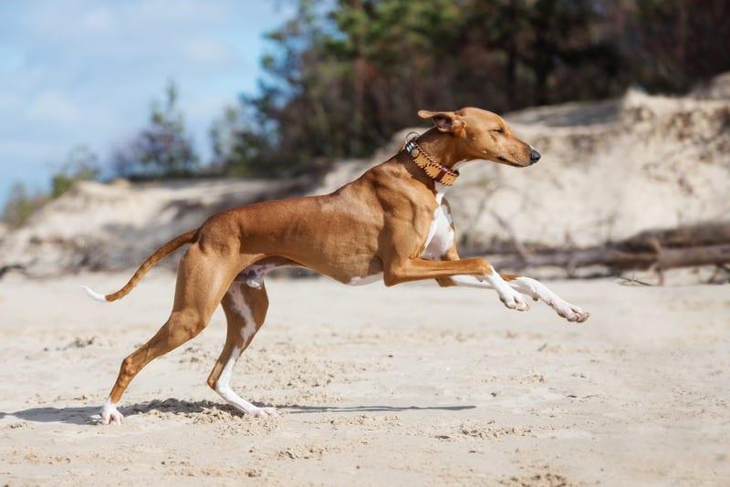Azawakh hond
