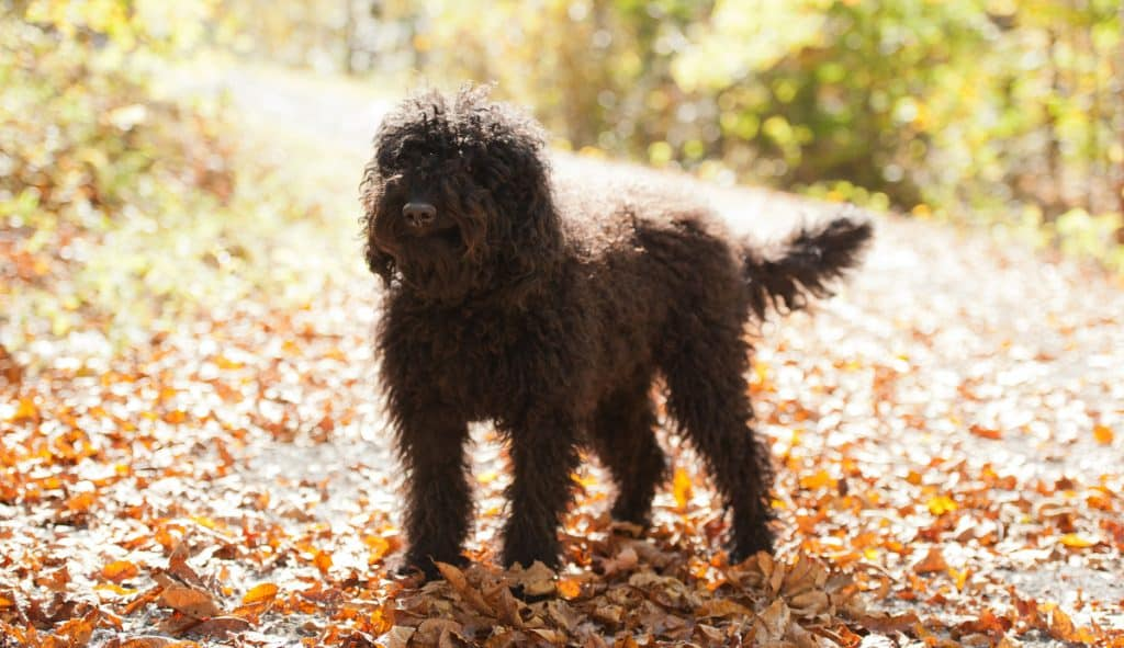 barbet hond