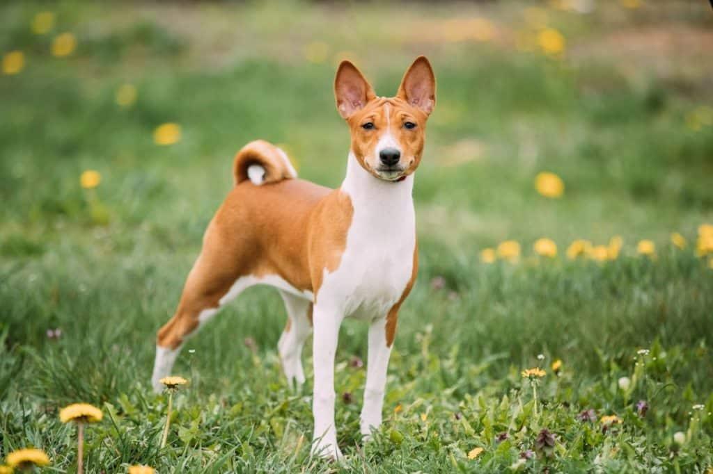 Basenji hond