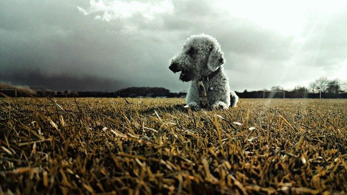 Bedlington Terrier hond