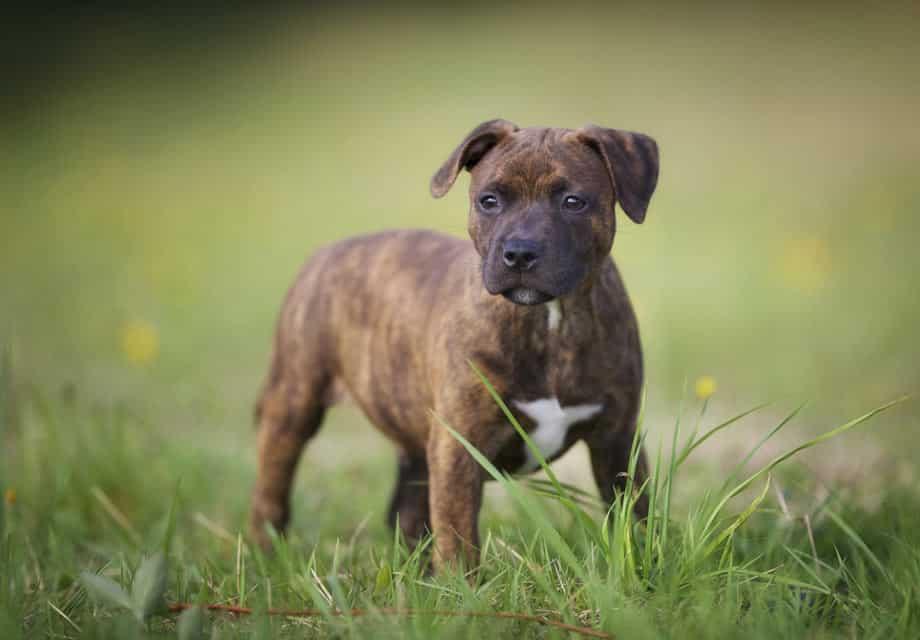 Staffordshire Terrier hond