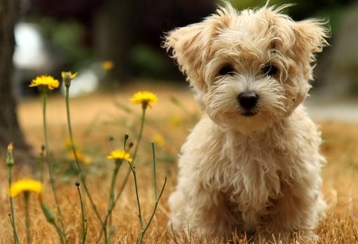 affenpinscher hond