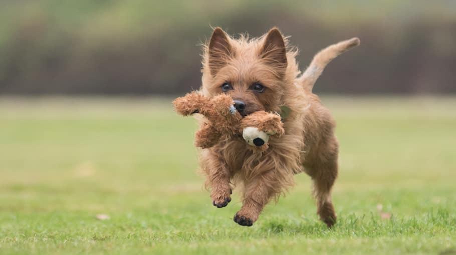 Australische terriër hond