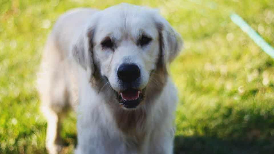goldador hond