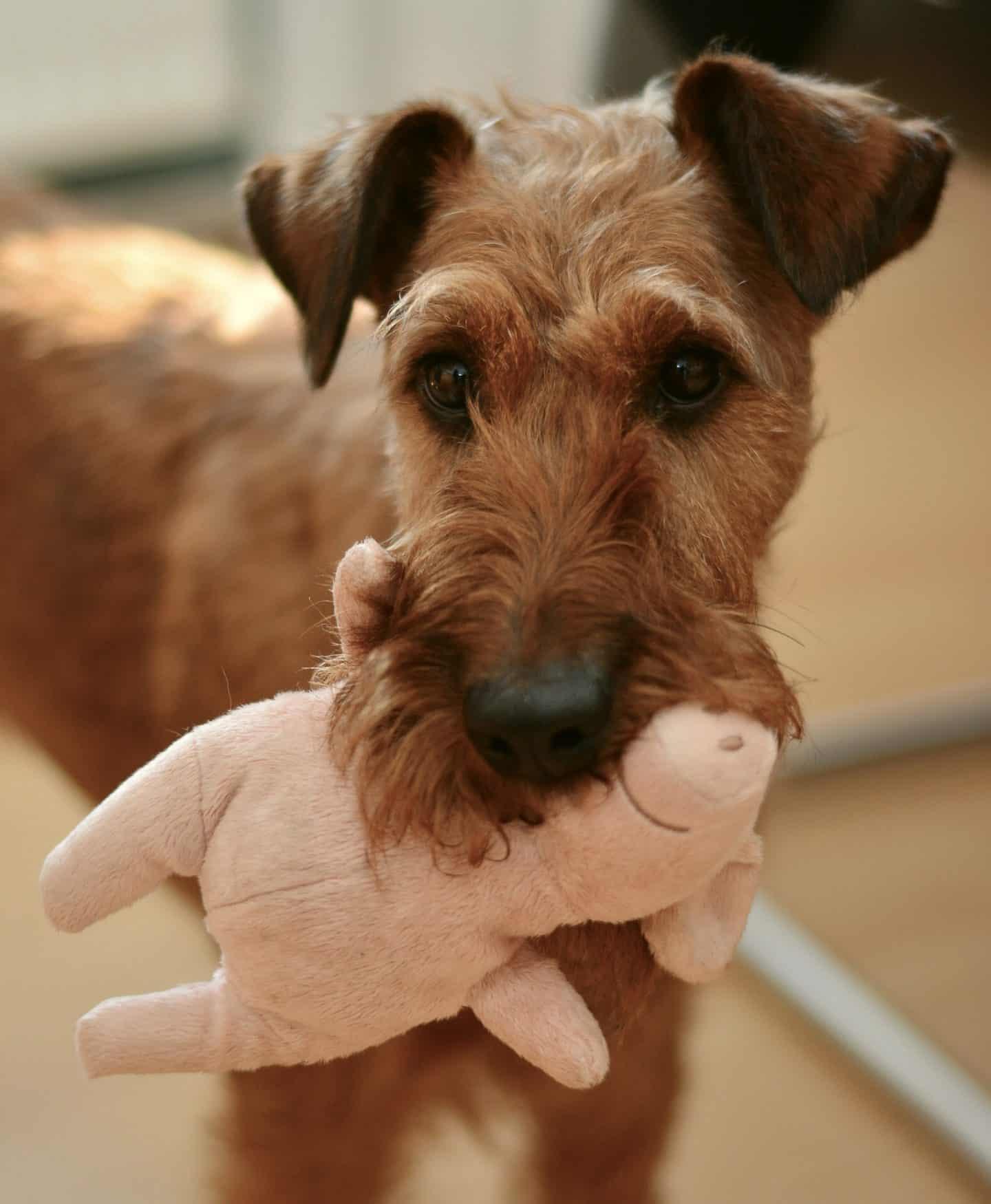 Ierse terrier