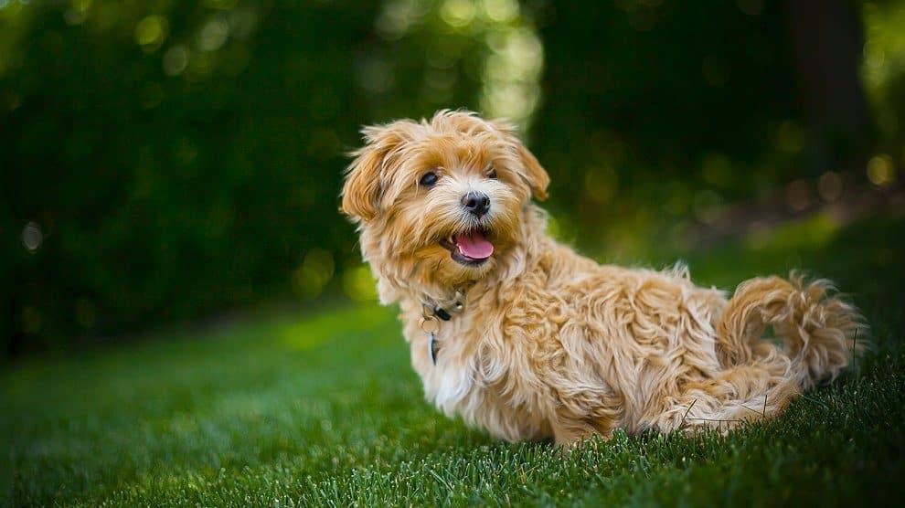 maltipoo hond