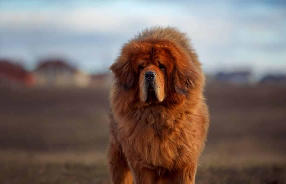 mastiff tibetaans
