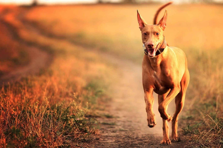 pharao dog