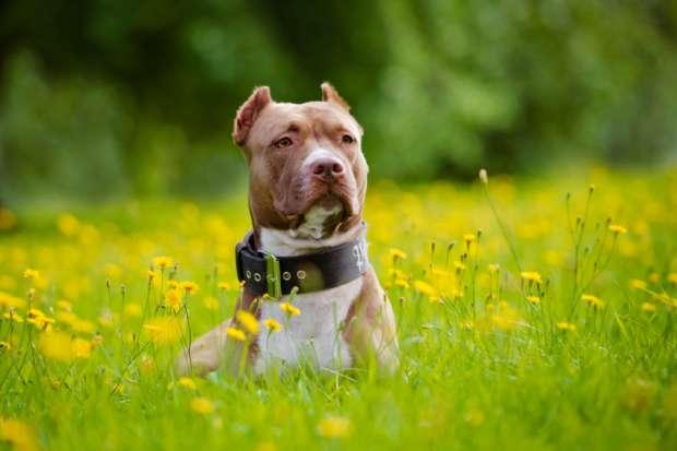 pitbull terrier hond