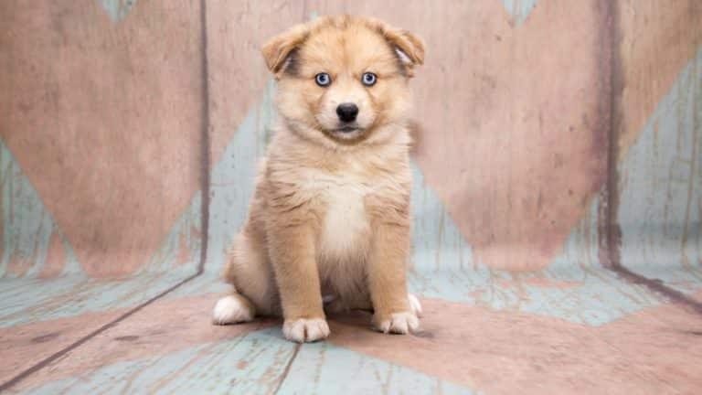 pomsky hond