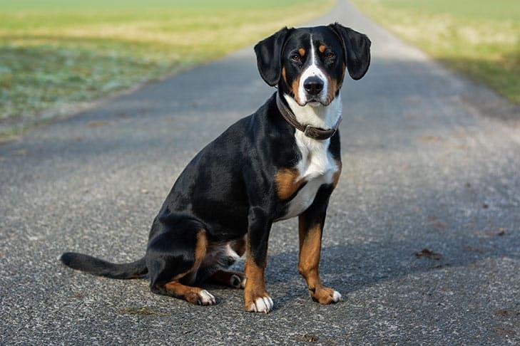 grote zwitserse sennenhond - alles over hondenrassen ✓