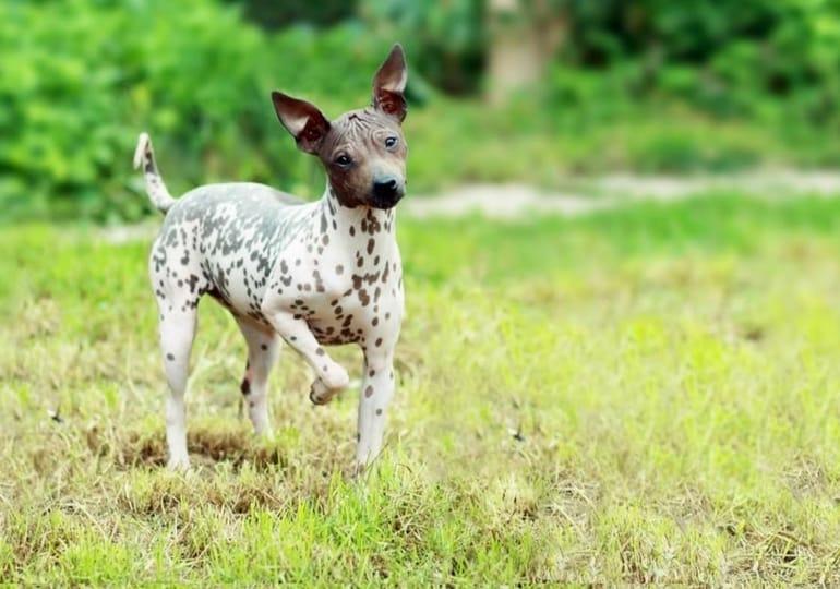 Haarloze hondenrassen waarvan je niet wist dat ze bestonden