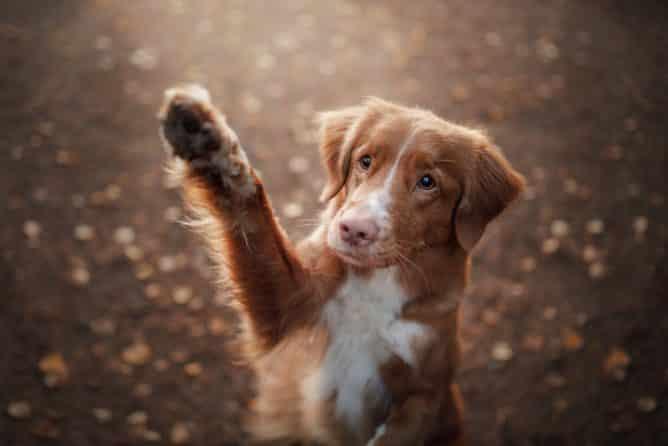 Hoe leer je een hond zwaaien?