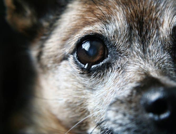 Kan een hond huilen?