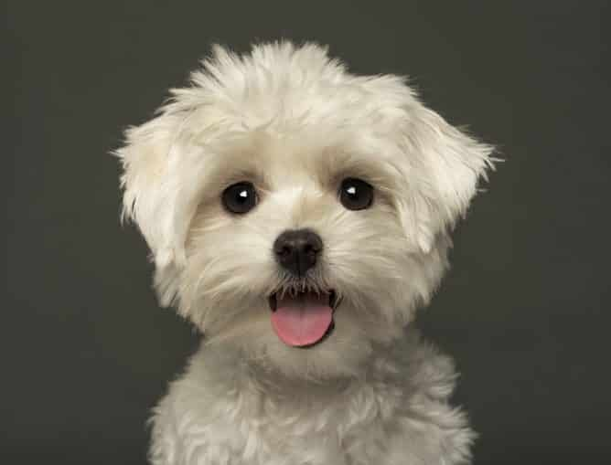 maltichon hond
