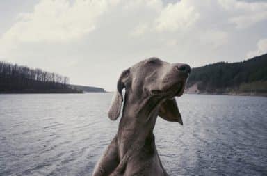 parvovirus honden