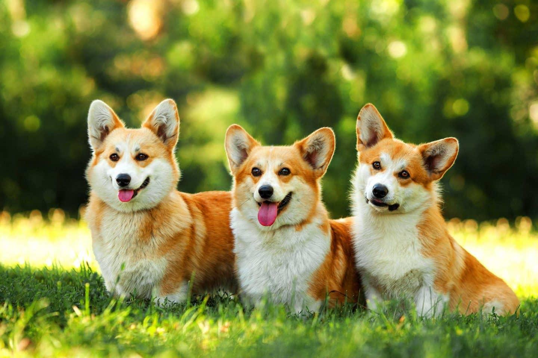 welsh corgi hondenras