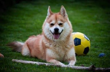pomsky hondenras