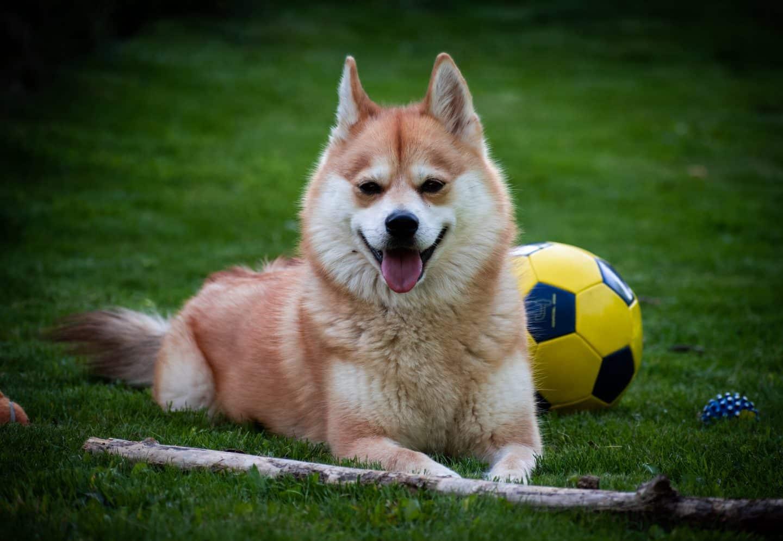 Het IPRC erkend de Pomsky als hondenras