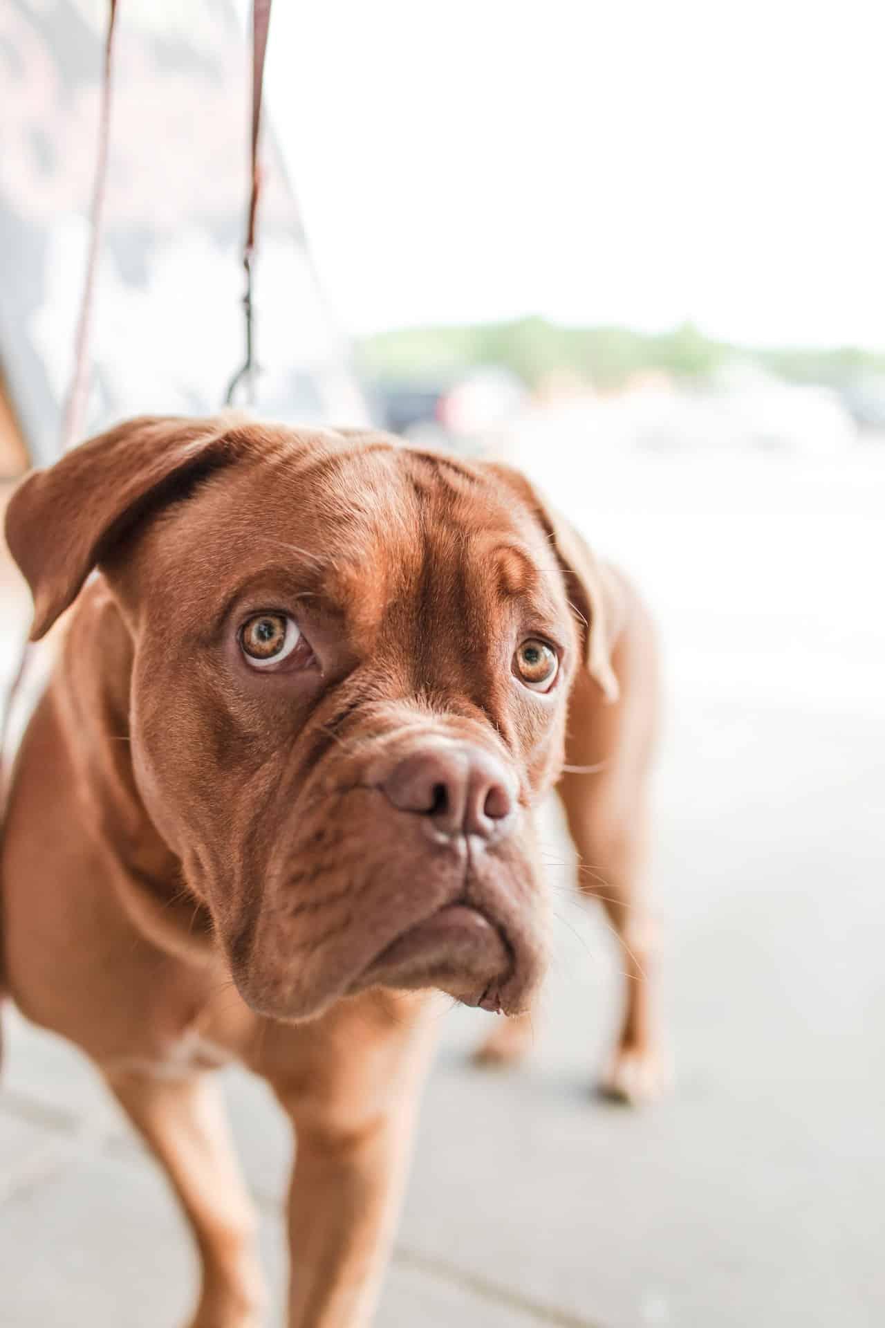 Kunnen honden het Coronavirus krijgen?