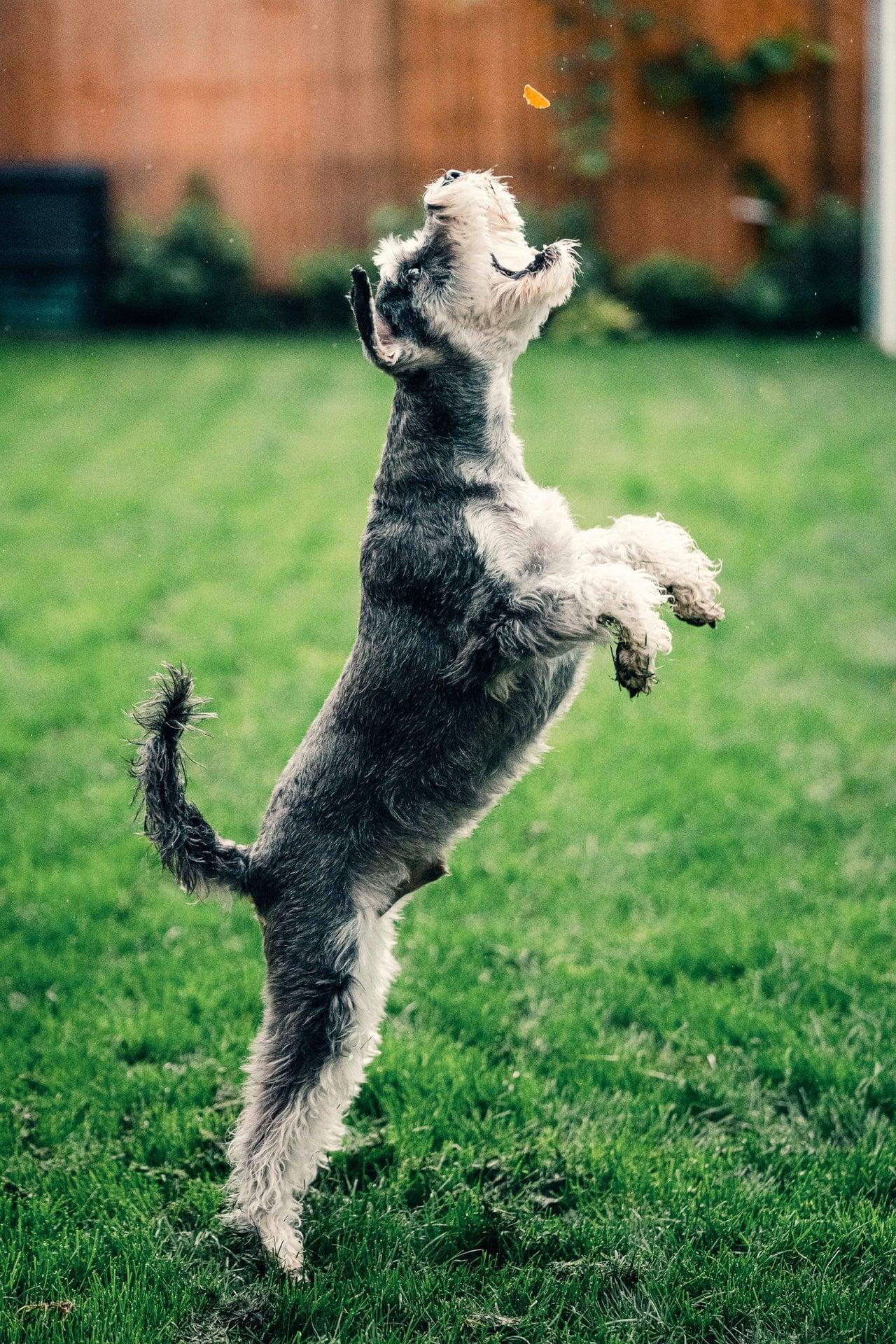mag een puppy springen