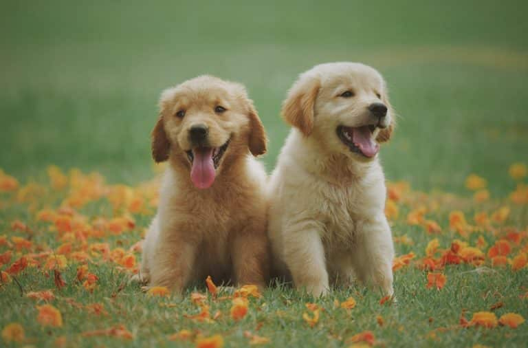 two-yellow-labrador-retriever-puppies-1108099