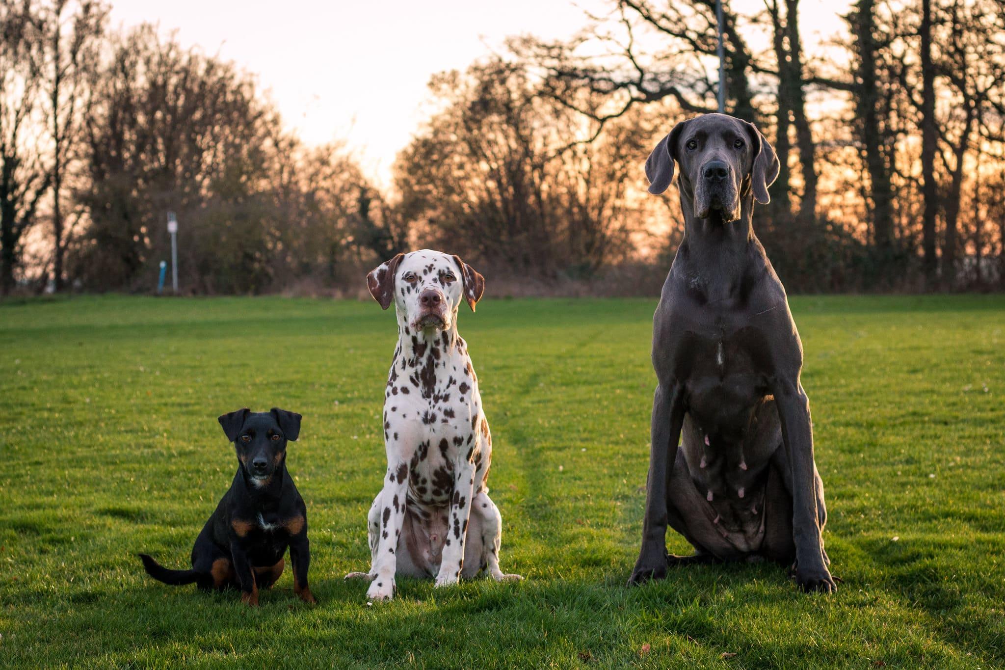 Duitse Jachtterrier hond