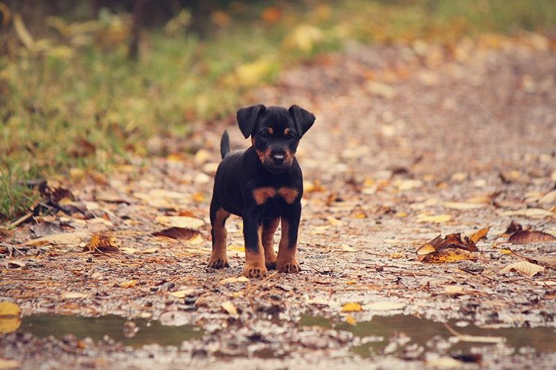 Duitse Jachtterrier pup