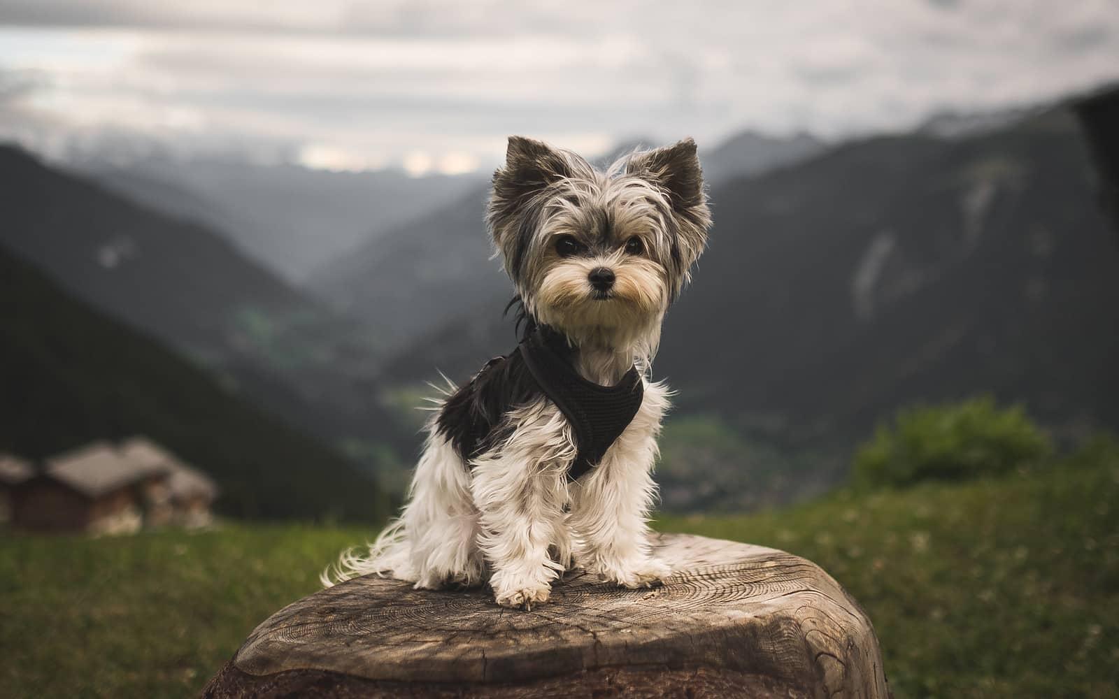 bieder yorkie hondenras