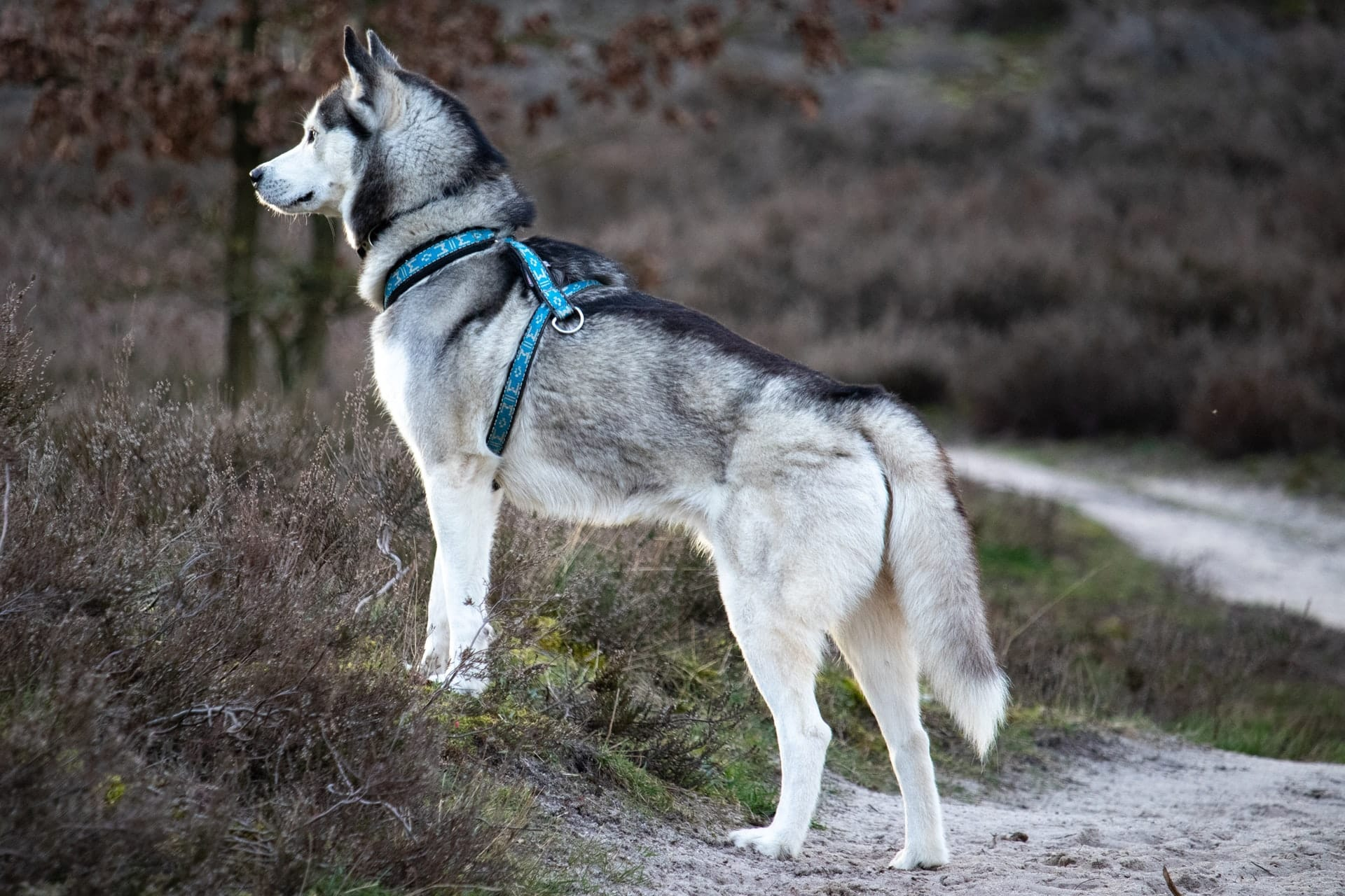 husky uiterlijk