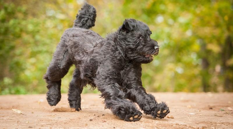 zwarte russische terrier