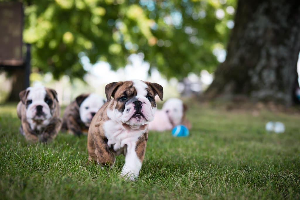Old English Bulldog pup