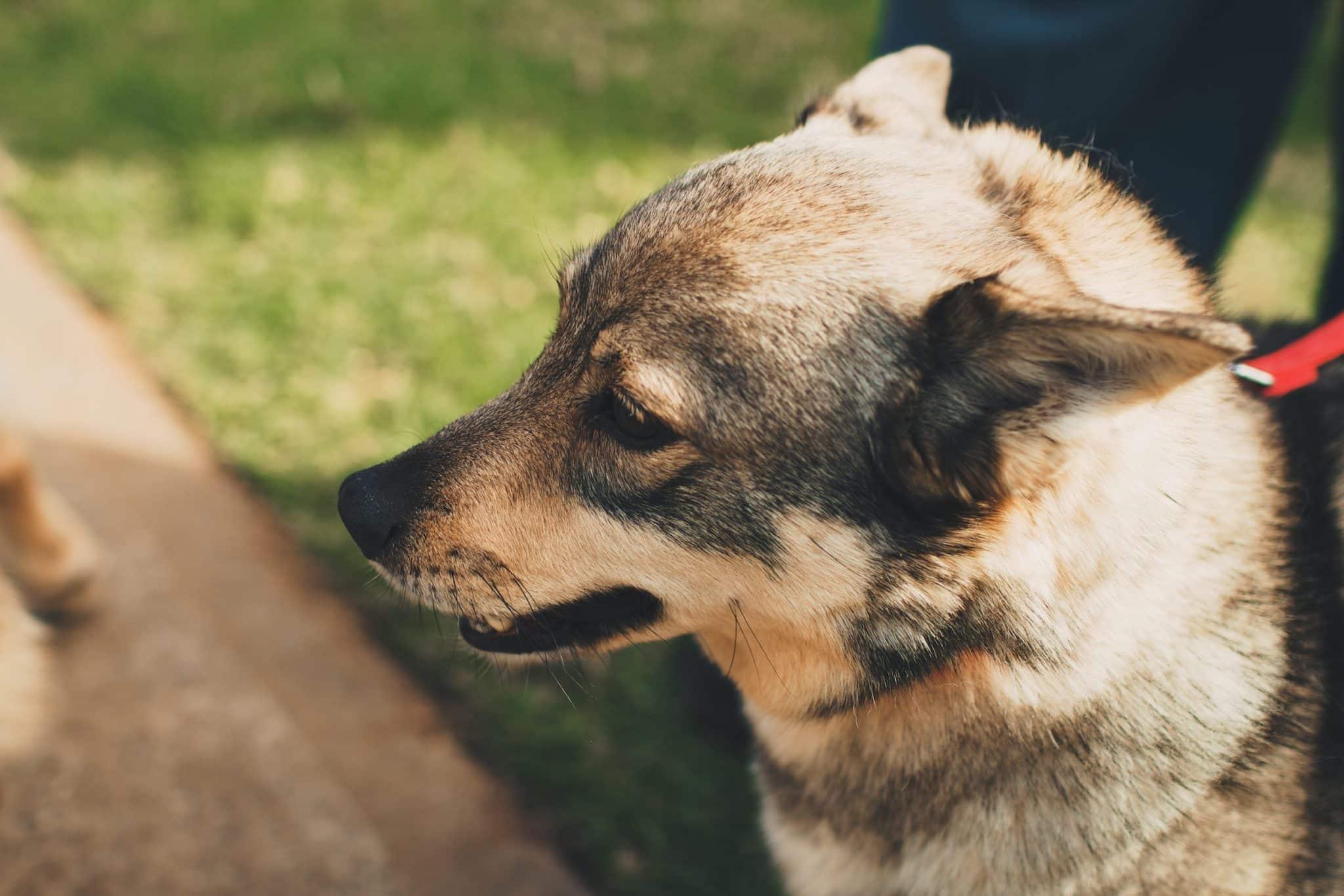 Zweedse Vallhund