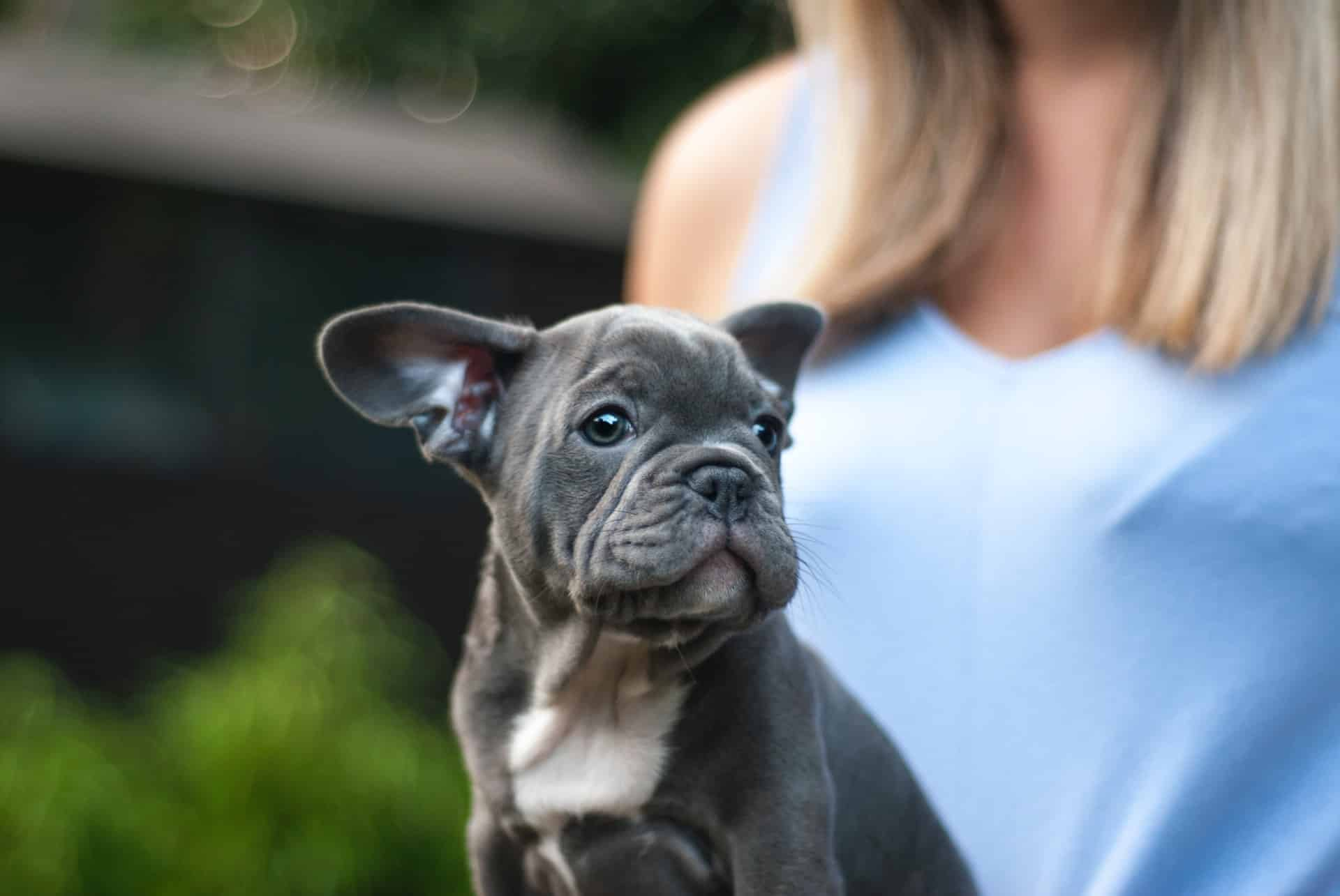 franse bulldog geen stamboom