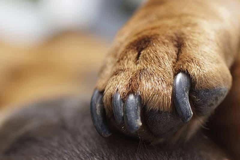 honden nagels knippen