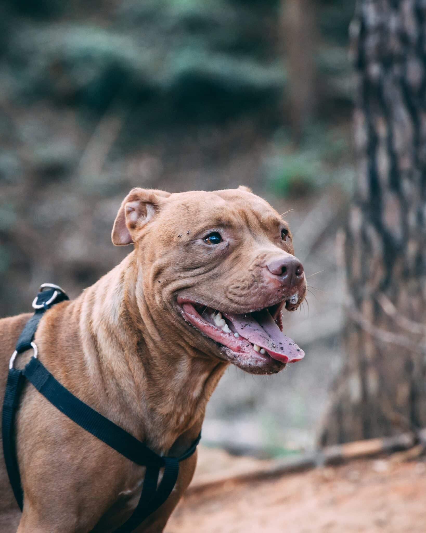 Amerikaanse Bulldog hond
