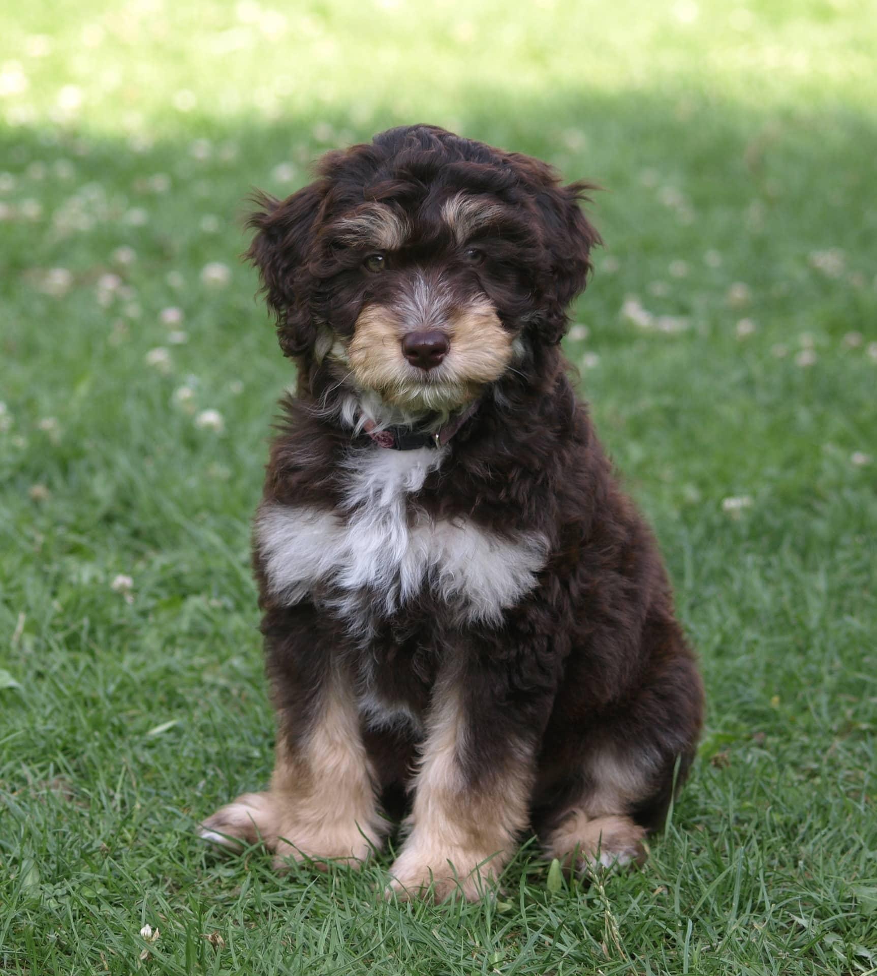 Aussiedoodle hond