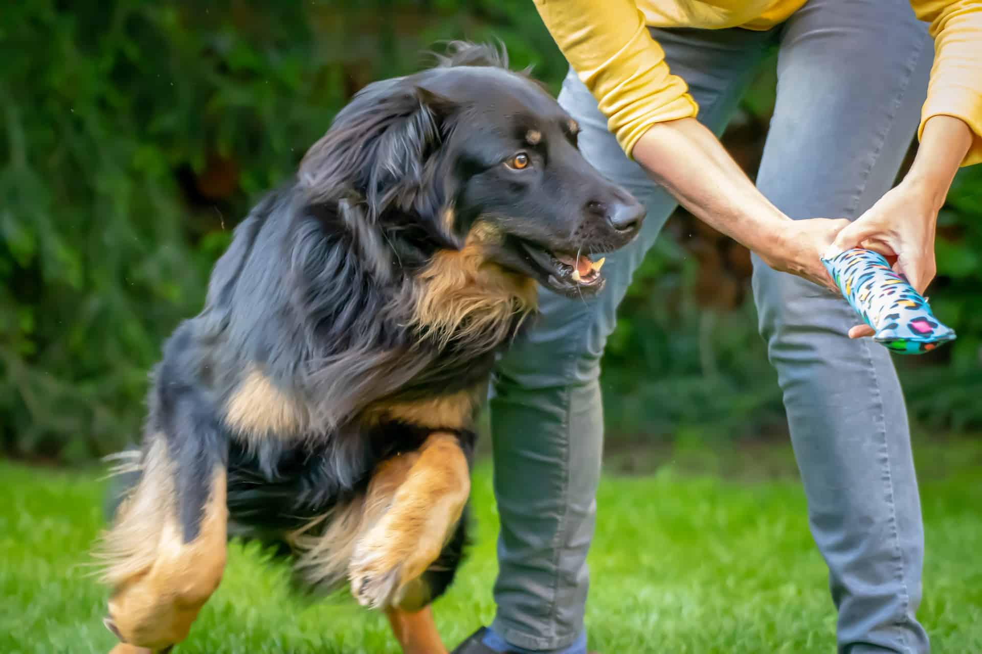 Hovawart hondenras