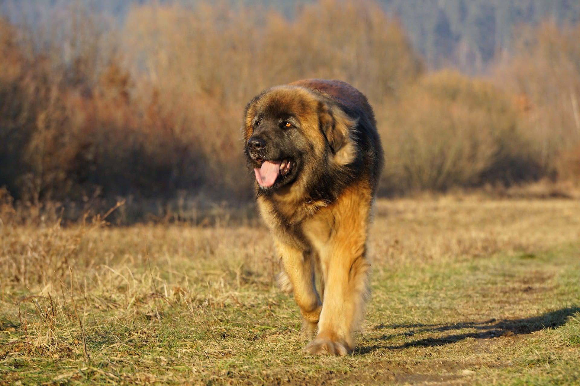 Leonberger hondenras
