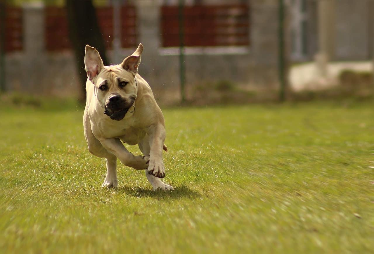 Boerboel hondenras