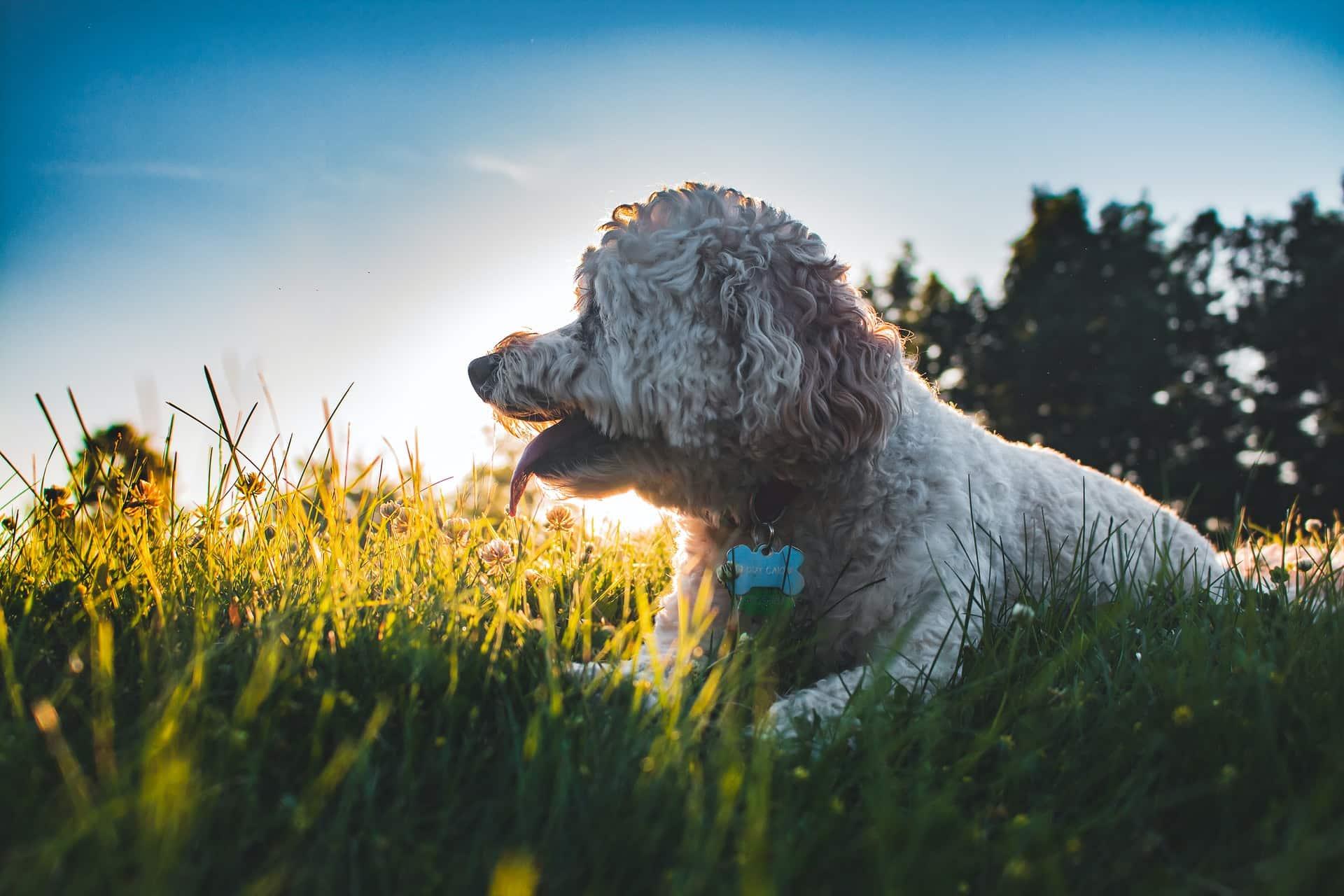 cockapoo hond