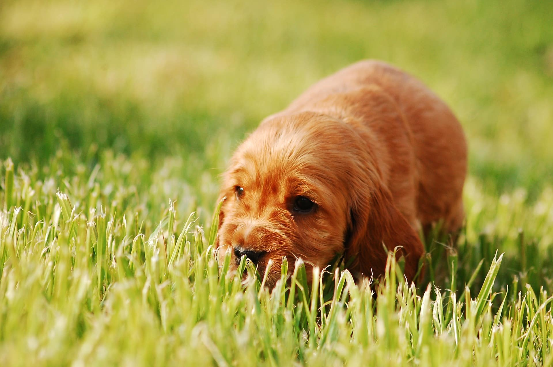 cocker spaniel pup