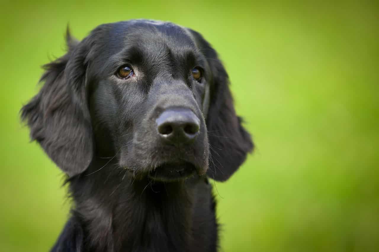 Flatcoated retriever hond