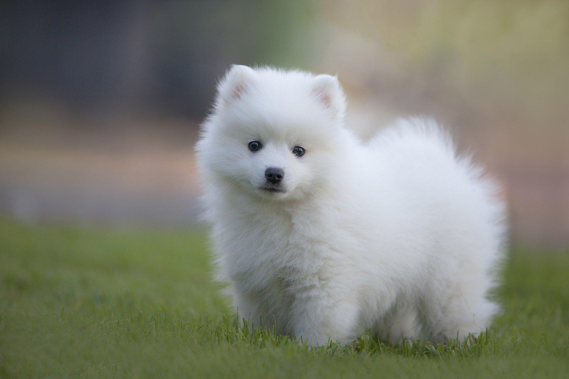 japanse spits pup